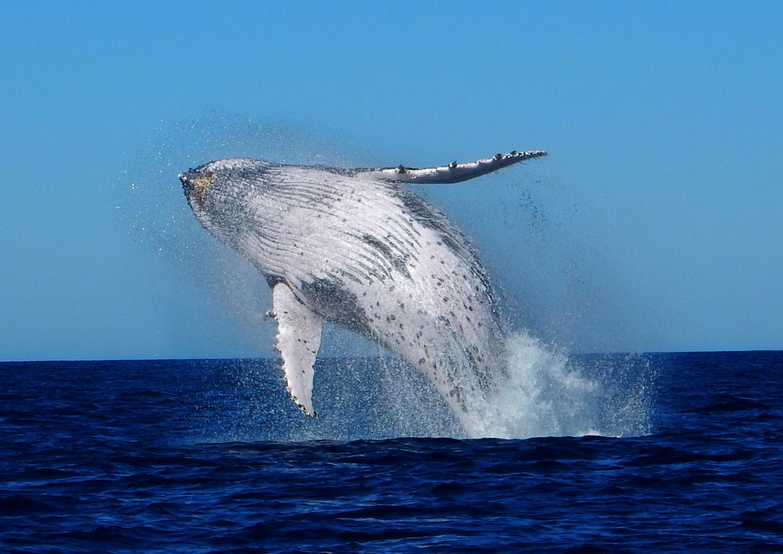 Daan Schermer Humpback Whale Breach