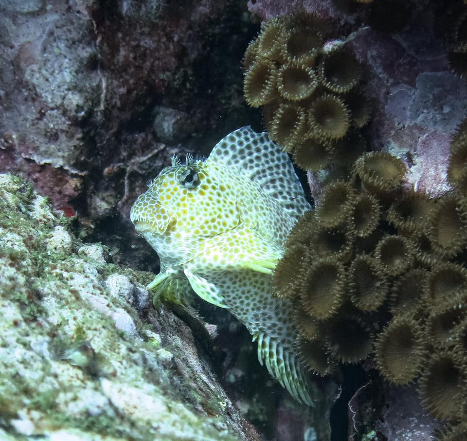 Leopard Blenny at South Solitary