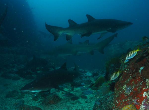 Sharks at Manta Jan-9-2017