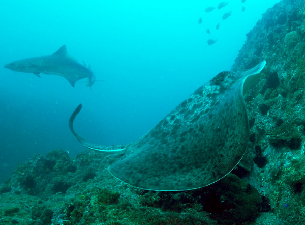 Bull Ray at Manta Arch South Solitary Island