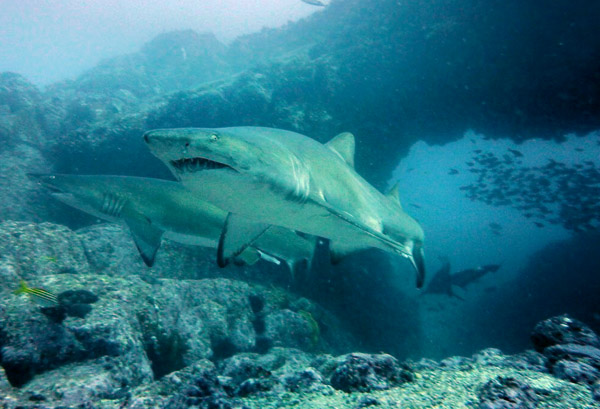 Grey Nurse Sharks at Manta Arch