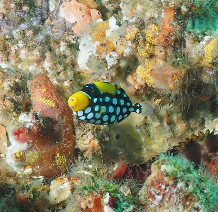 Clown Triggerfish South Solitary Island