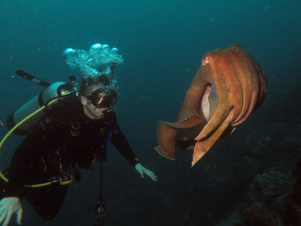 Diver with Giant Cuttlefish