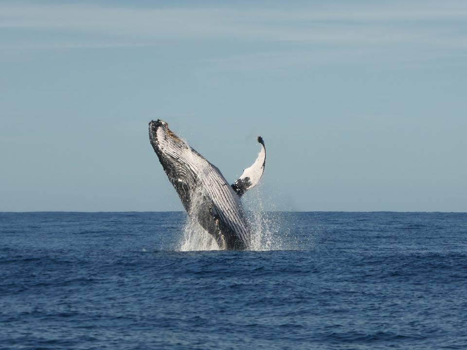 Breach Humpback Whale Jetty Dive Centre