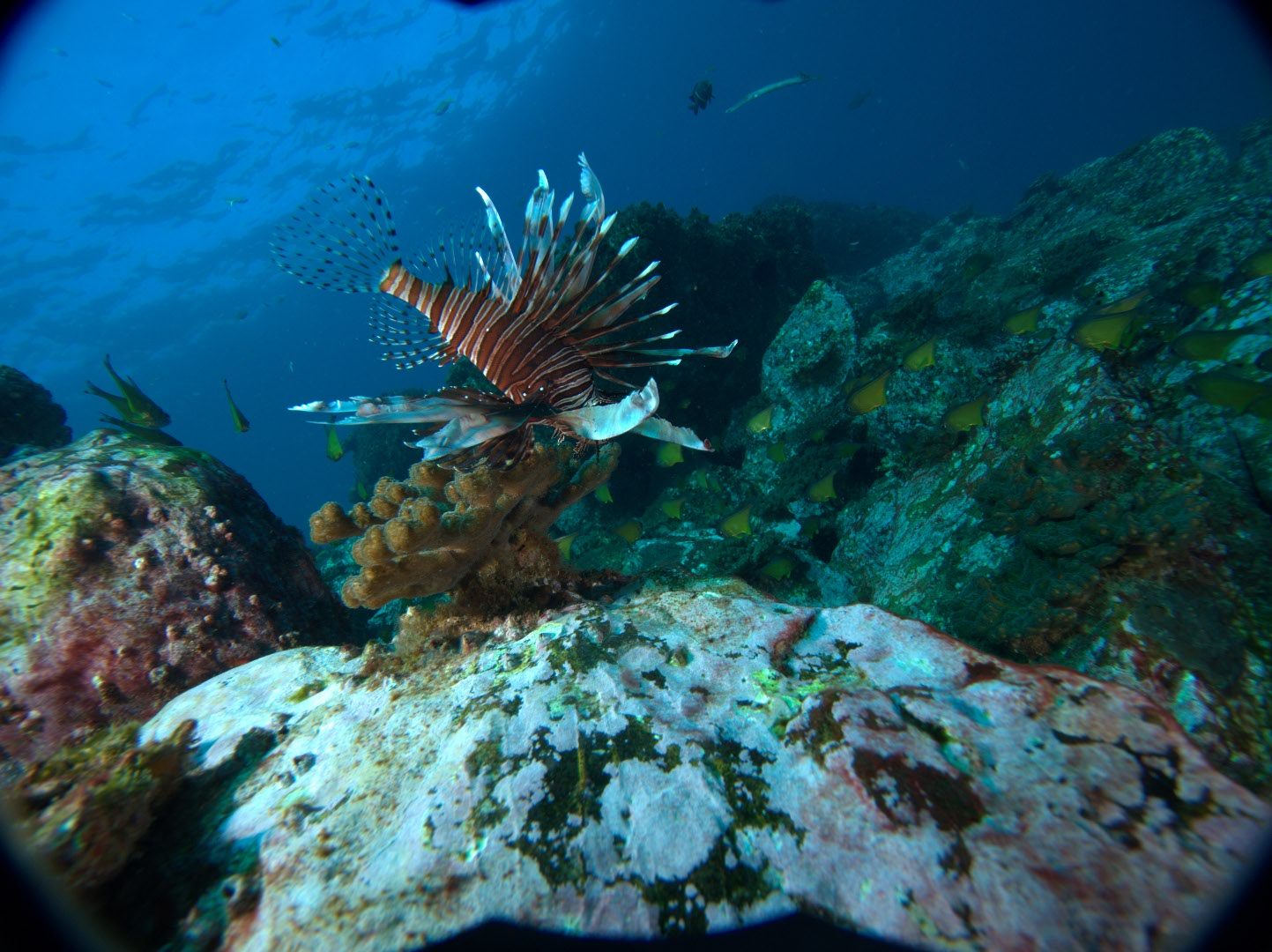 Lionfish 12.11.17 at South Solitary Island