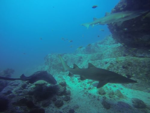 Grey Nurse Shark and Ray