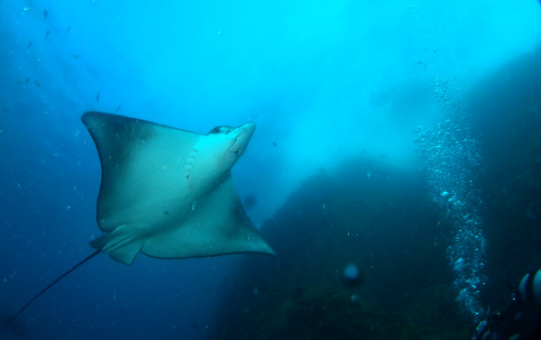 Eagle Ray at South Solitary Island-D Davey