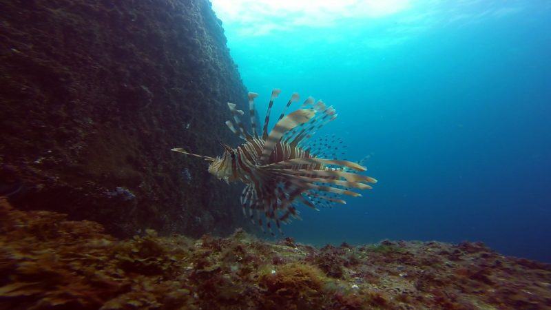 Lionfish South solitary island