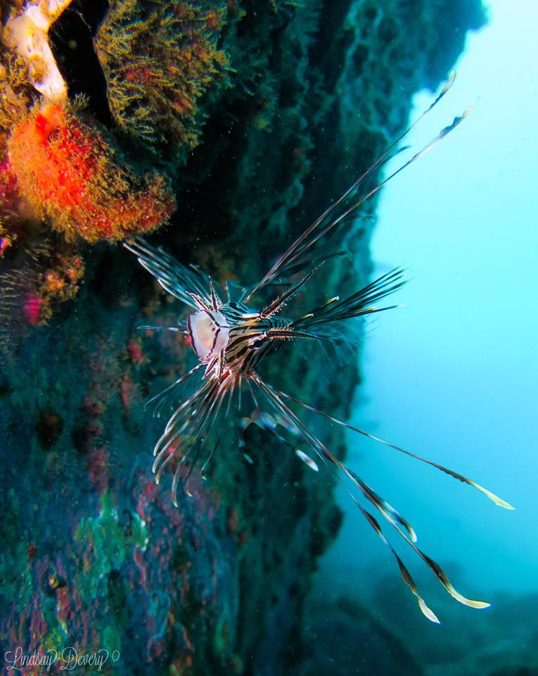 Lindsay Lionfish South Solitary