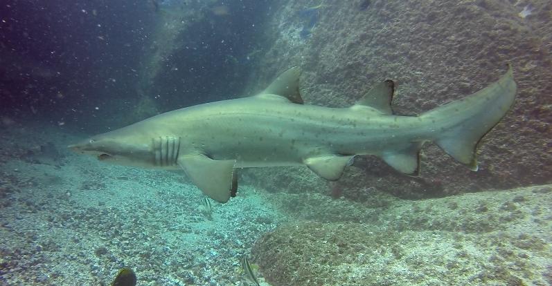 Grey NUrse Shark South Solitary Island