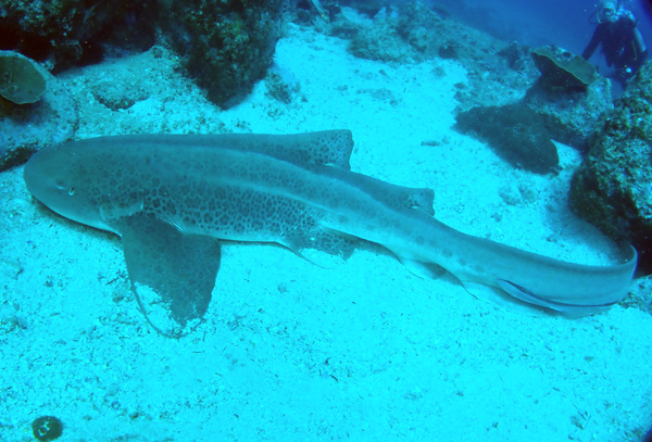 Leopard Shark at South Solitary Island 13.2.18