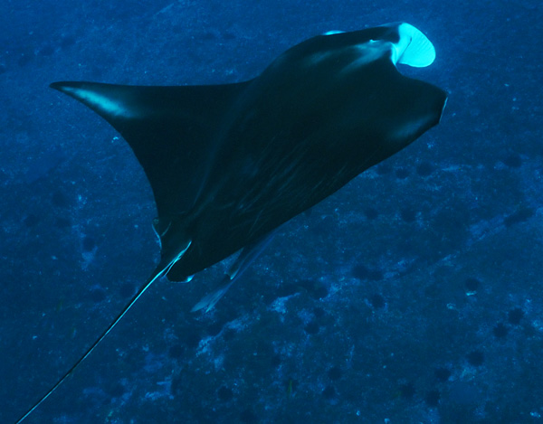 25-4-18 Manta Madness on Anzac Day at South Solitary