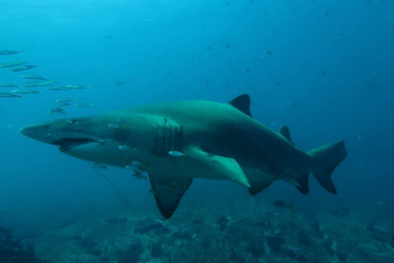 Grey Nurse Shark - Bryce Moody