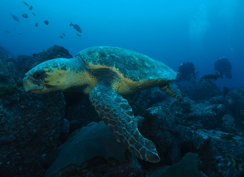 Barney-loggerhead-at-South-Solitary-island