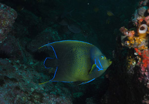 Blue Angelfish at Shark Gutters