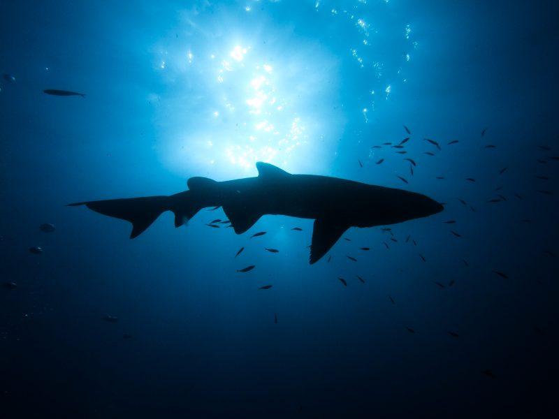 Grey Nurse Shark - South Solitary Island 2019