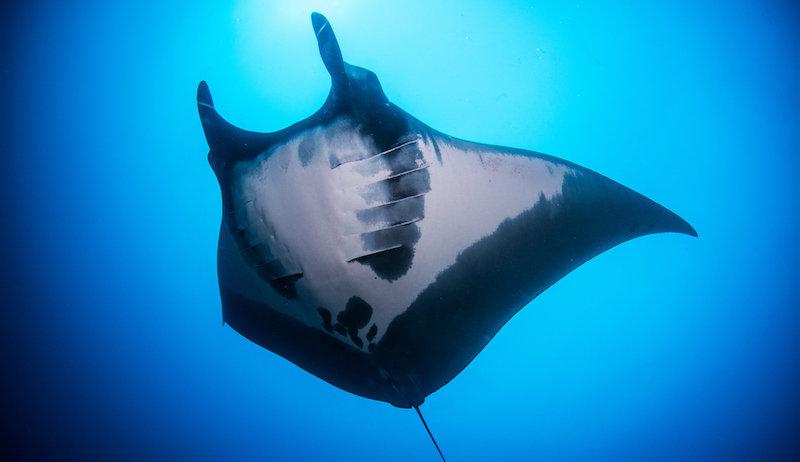 Manta ray new south whales
