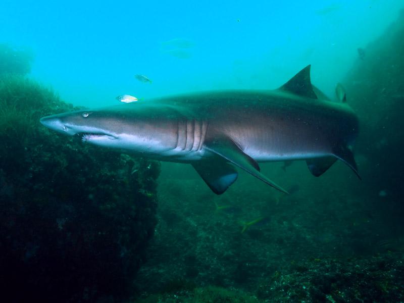 Fish Soup Grey Nurse shark